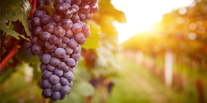 The Health Benefits of Grapes