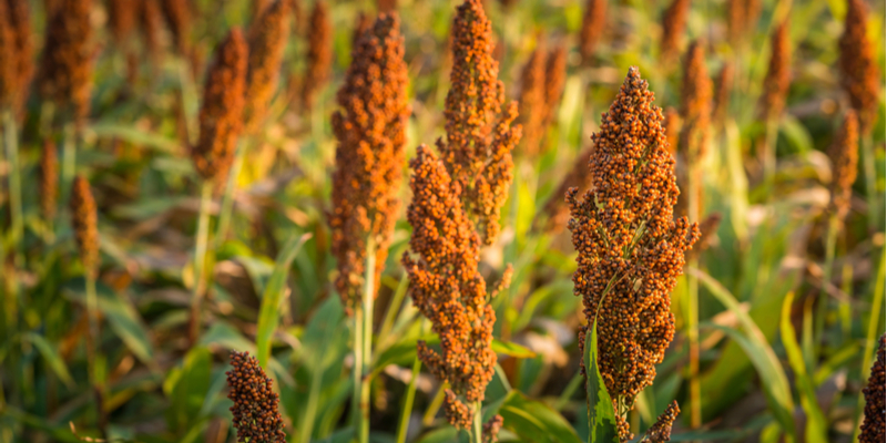 Regional QLD Summer Crop Sorghum
