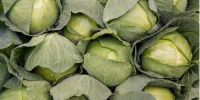 Spotlight on Cabbage