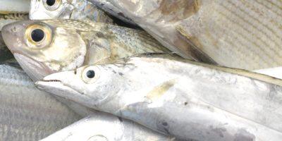 Wild-caught Fish